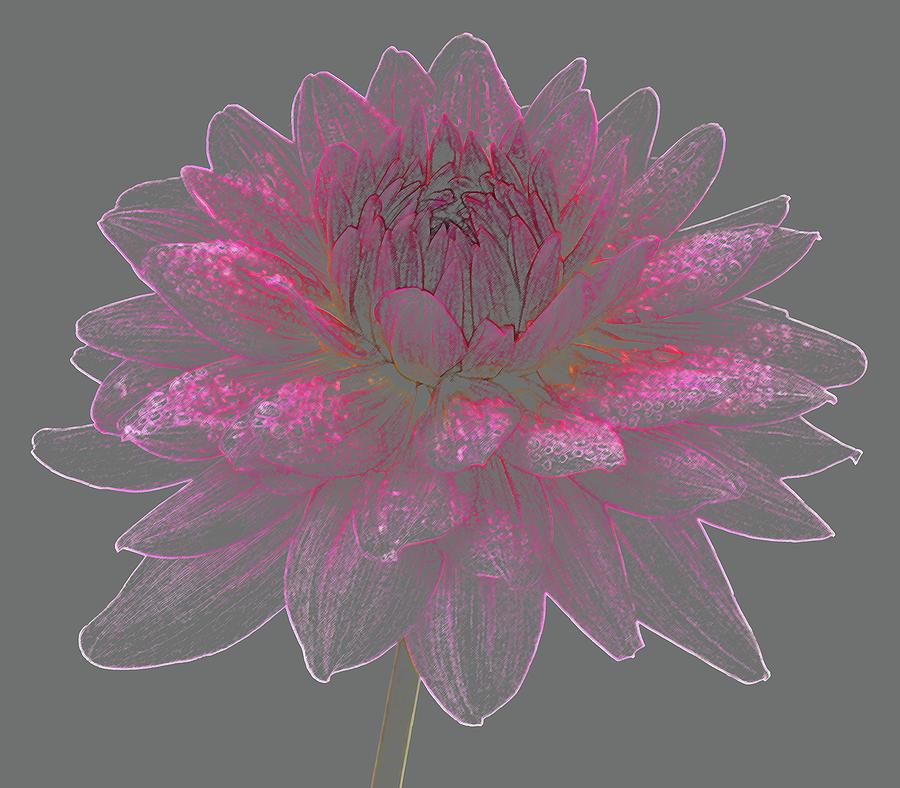 Dainty Pink Dahlia Flower On Grey Photograph by Rosemary Calvert