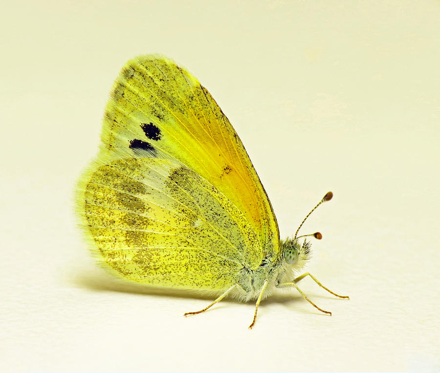 Butterfly Photograph - Dainty Sulphur Butterfly by Walter Klockers
