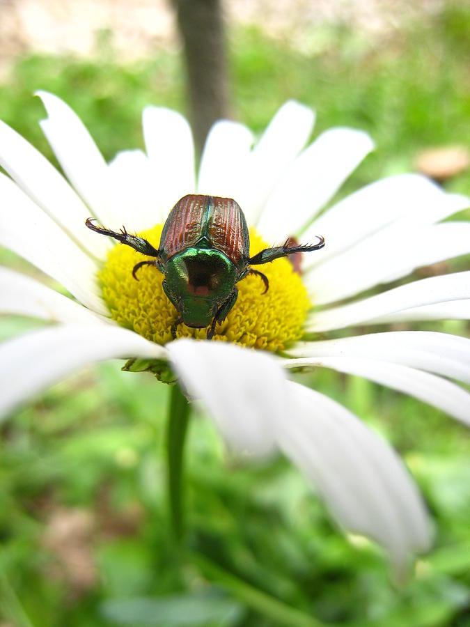 Daisy Photograph - Daisies Bug by Jennifer E Doll