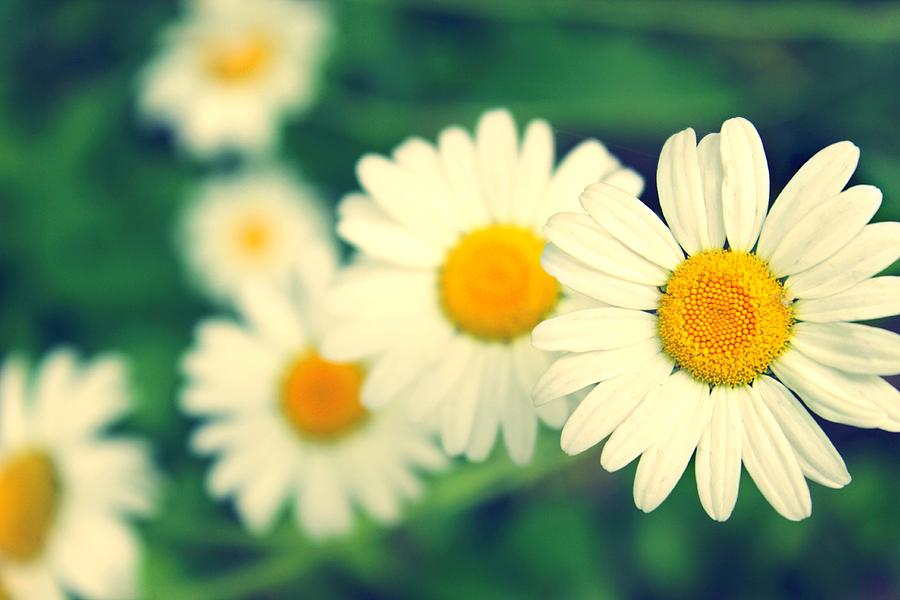 Daisy Photograph - Daisies by Candice Trimble