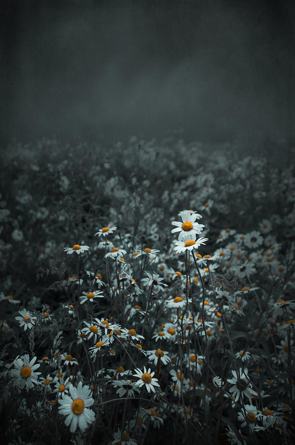Beautiful Photograph - Daisies-daisies by Svetlana Sewell