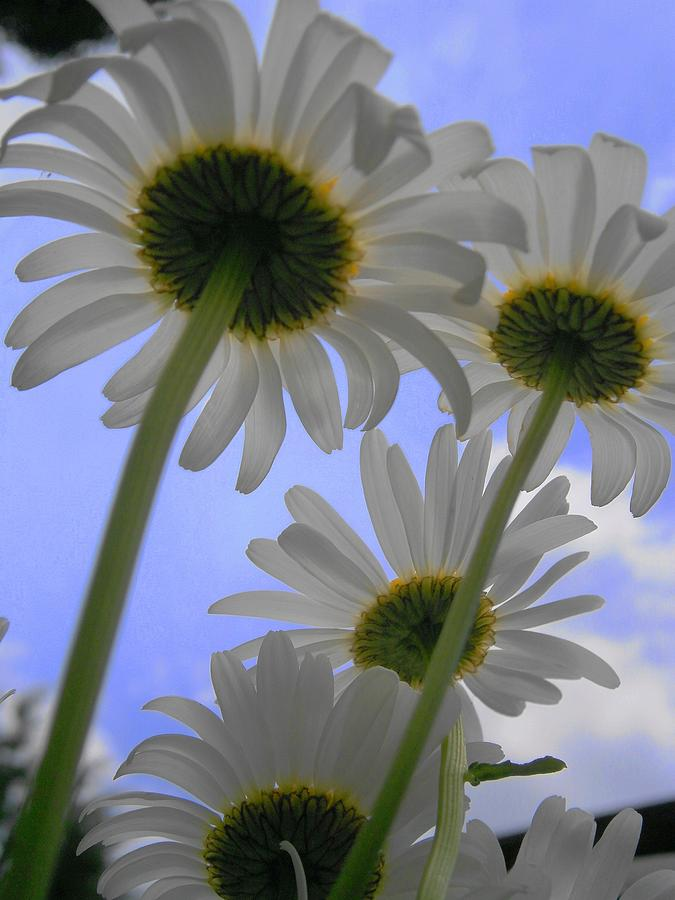 Daisy Photograph - Daisies From Down Under by Marisa Horn