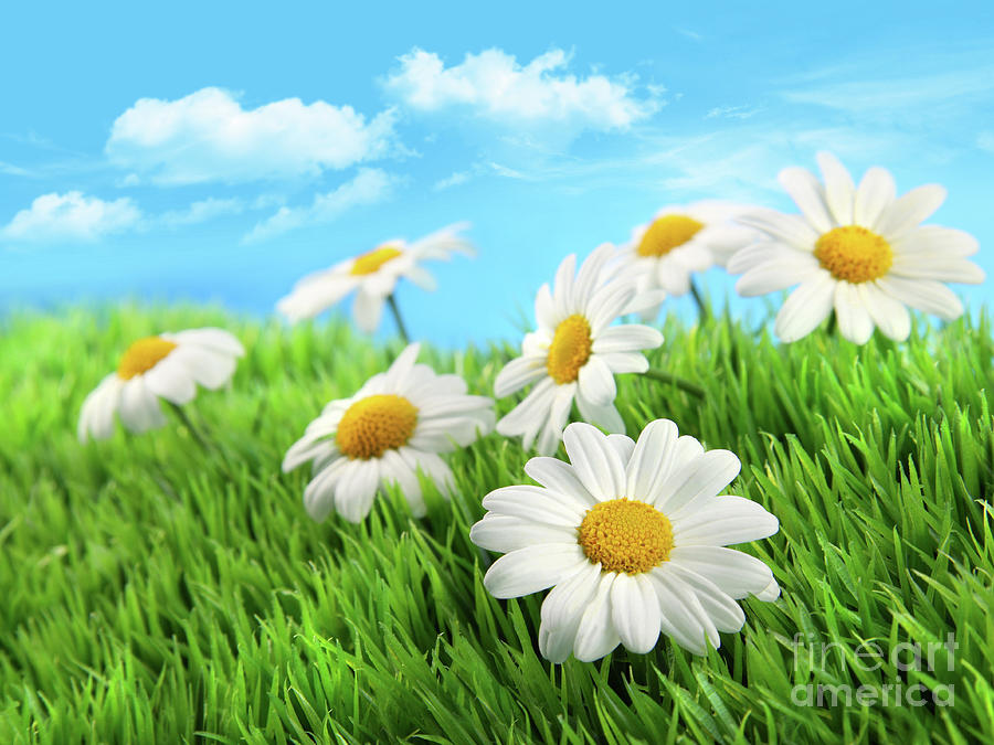 Blossom Photograph - Daisies In Grass Against A Blue Sky by Sandra Cunningham
