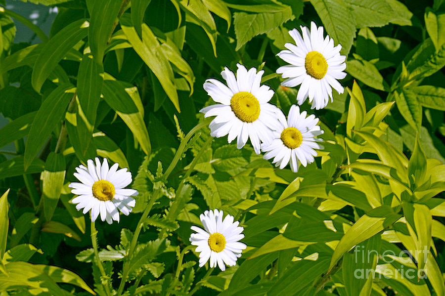 Daisies in Provincetown by Tom Doud