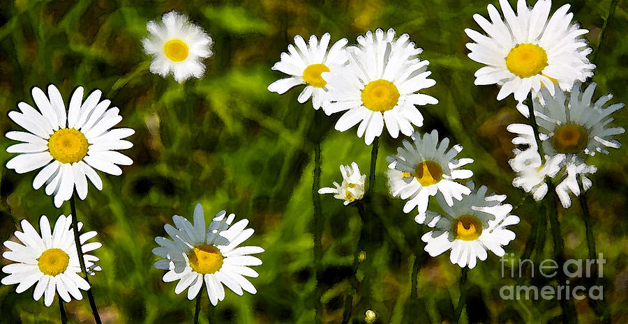Daisies In Watercolor Photograph