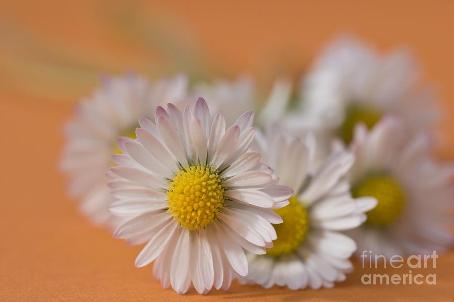 Bloom Photograph - Daisies On Orange by Jan Bickerton