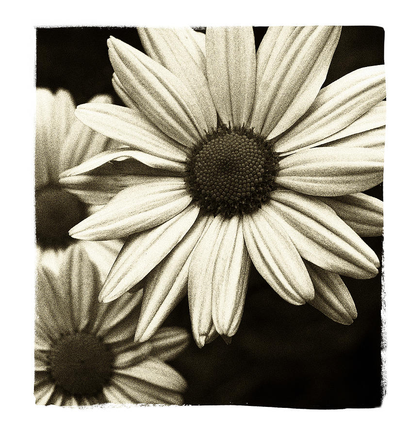 Flowers Photograph - Daisy 1 by Tanya Jacobson-Smith