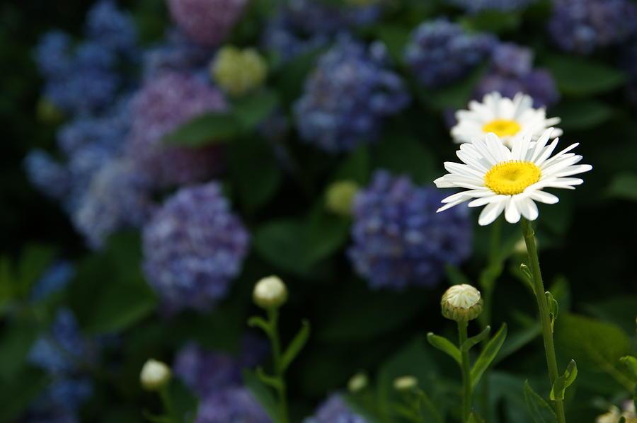 Flower Photograph - Daisy Among Hydrangeas by Leigh Ann Hartsfield