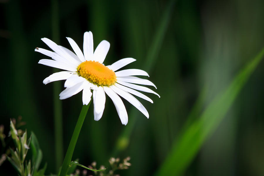 Flower Photograph - Daisy - Bellis Perennis by Bob Orsillo