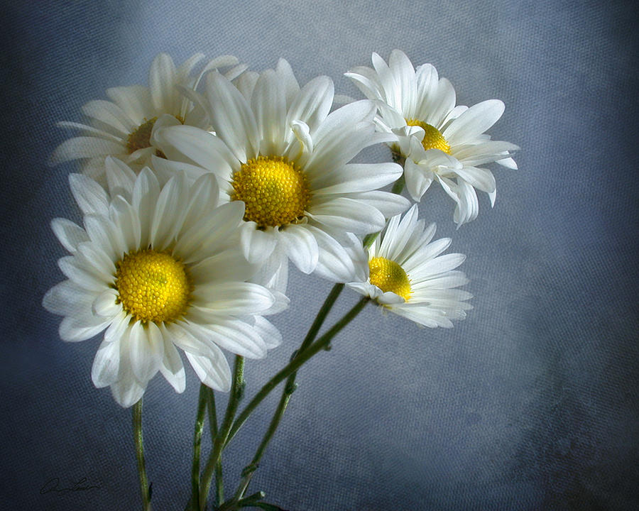 Daisy Bouquet by Ann Lauwers