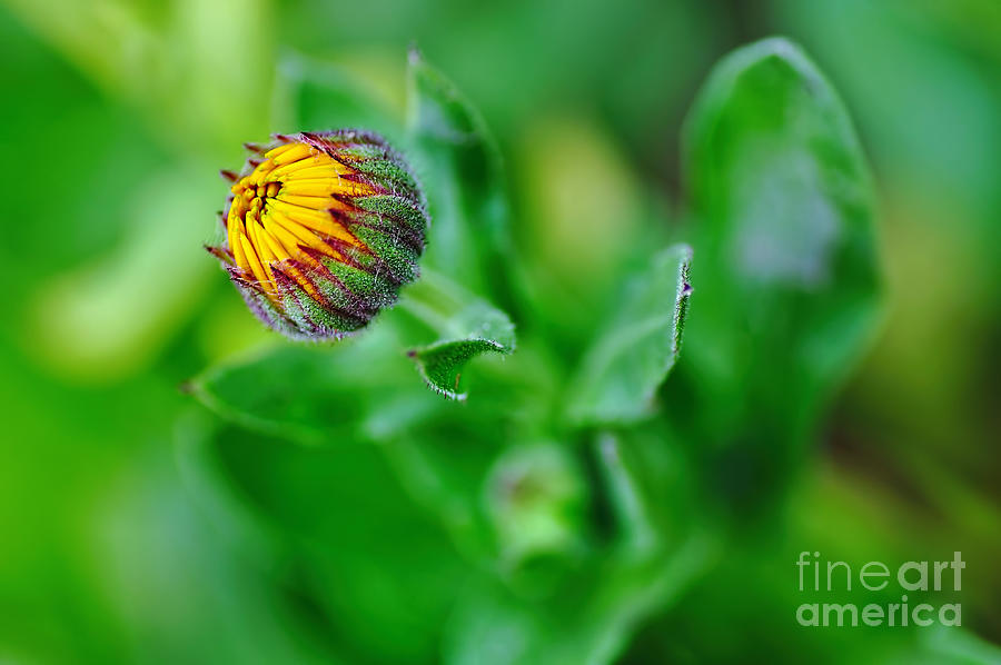 Daisy Bud Ready To Bloom Photograph - Daisy Bud Ready To Bloom by Kaye Menner