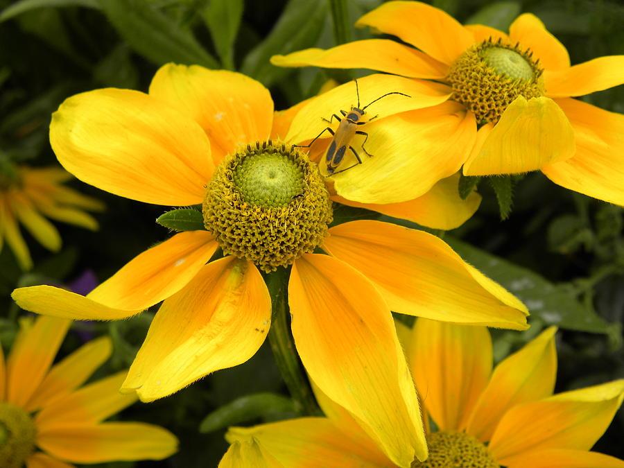 Daisy Photograph - Daisy Bug by Julie Fields