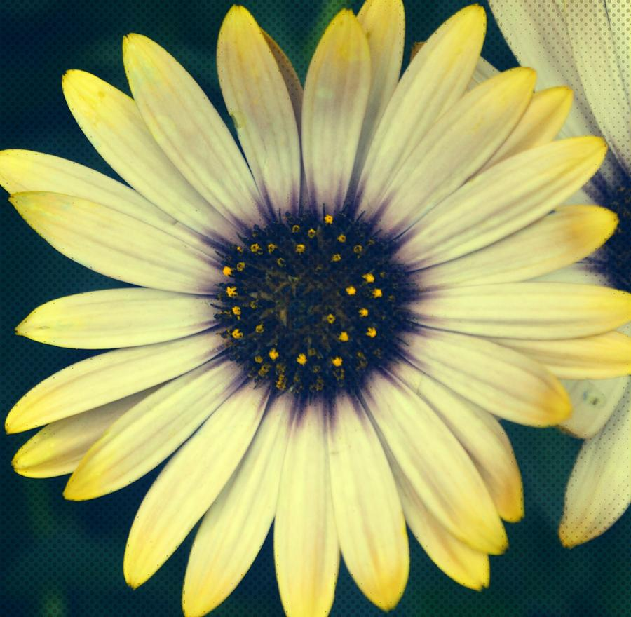 Flower Photograph - Daisy Comics  by JAMART Photography