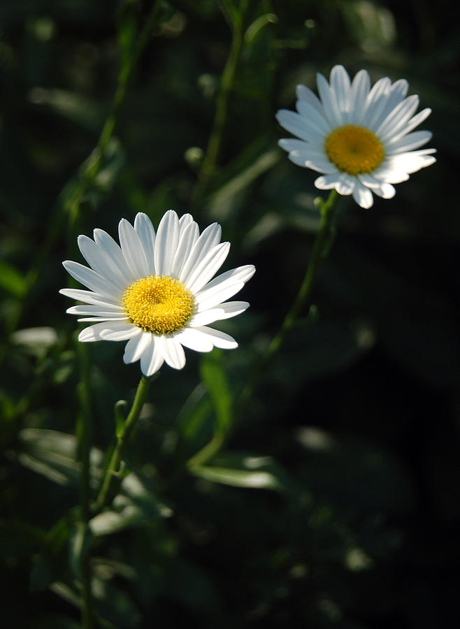 Daisy Photograph - Daisy Days by Suzanne Gaff