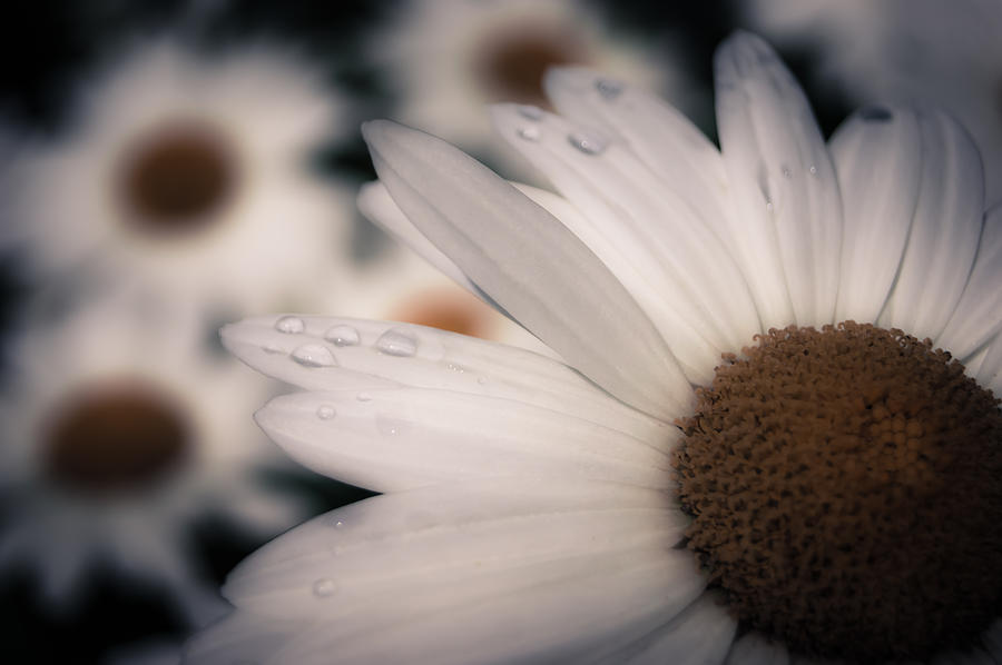 Daisy Don't Doubt Does He Love Me Does He Love Me Not by Jen Baptist