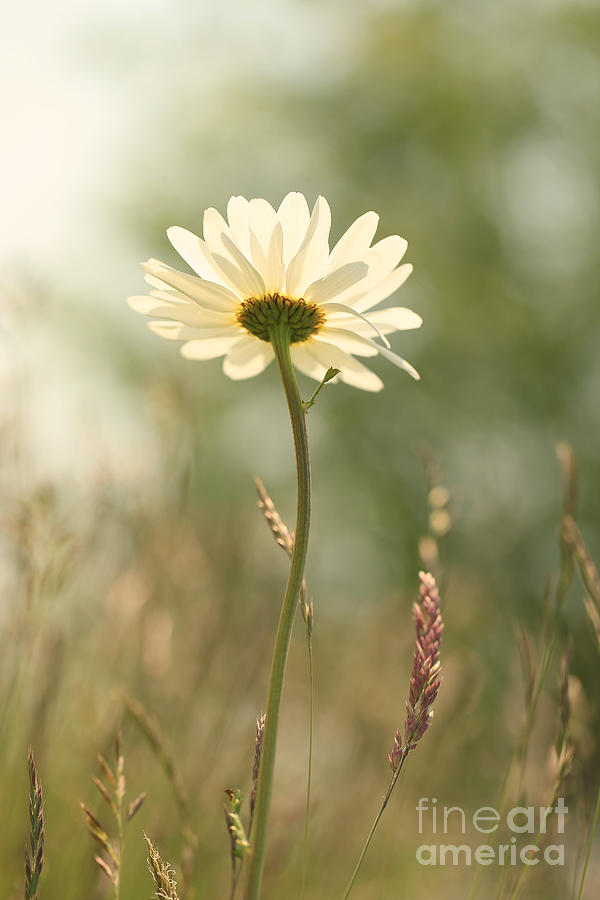Floral Photograph - Daisy Dreams by LHJB Photography