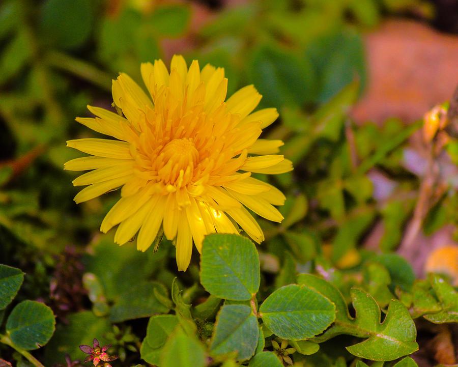 Daisy Photograph - Daisy by Edward Hamilton