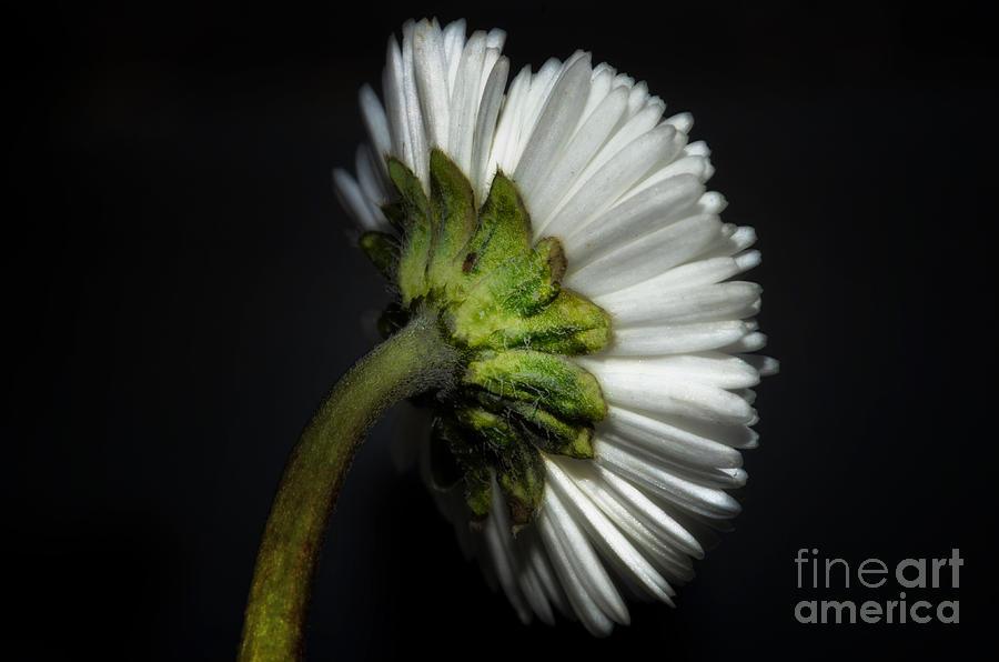 Flower Photograph - Daisy Flower by Mats Silvan