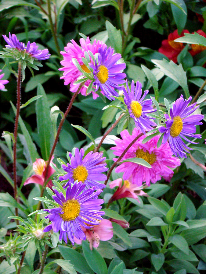Daisy Photograph - Daisy Flowers  by Sanjeewa Marasinghe
