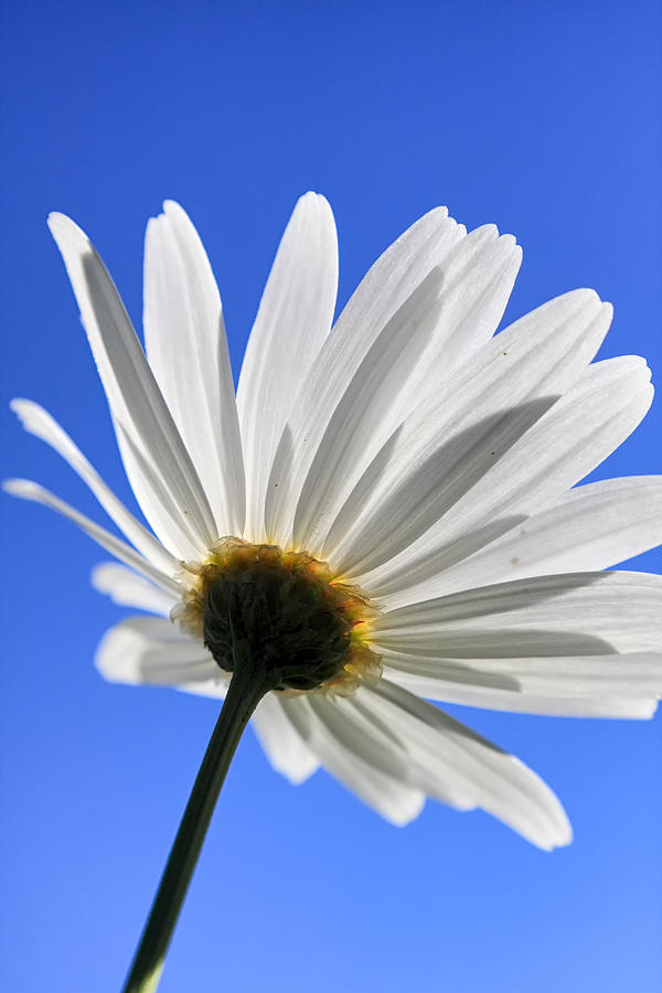 Flower Photograph - Daisy by Goyo Ambrosio