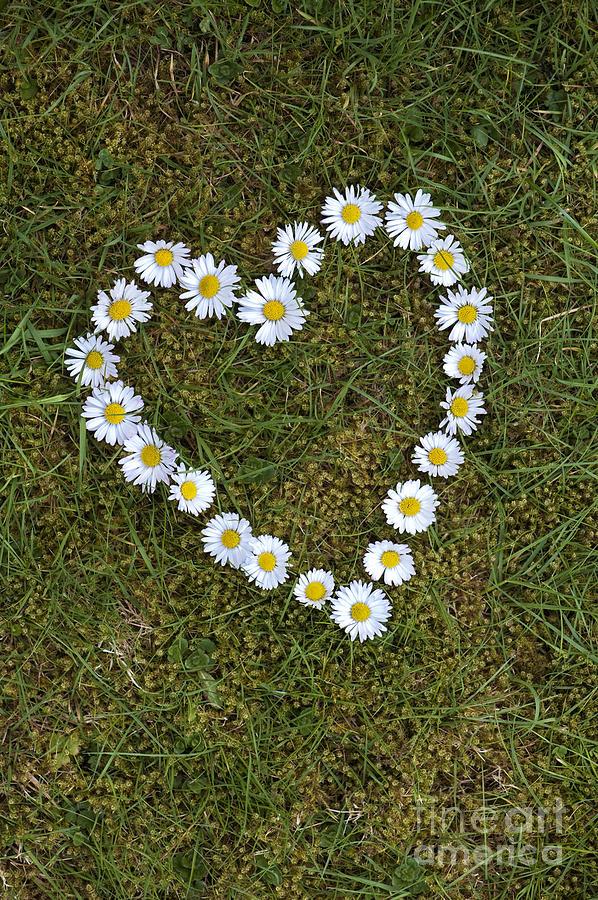 Daisy Photograph - Daisy Heart by Tim Gainey