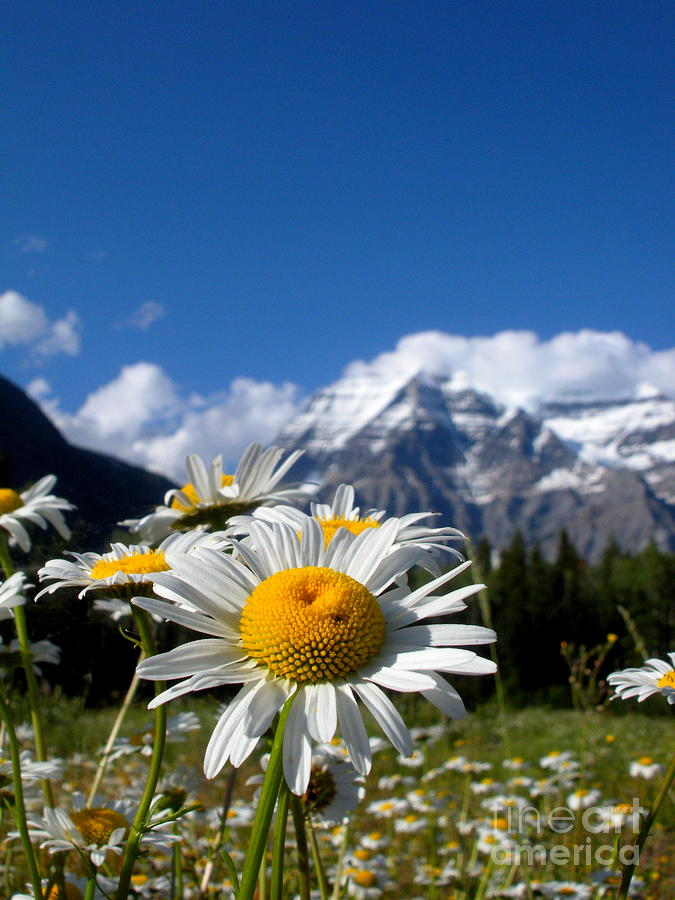 Daisy Photograph - Daisy In Rocky Mountains by Sophia Elisseeva
