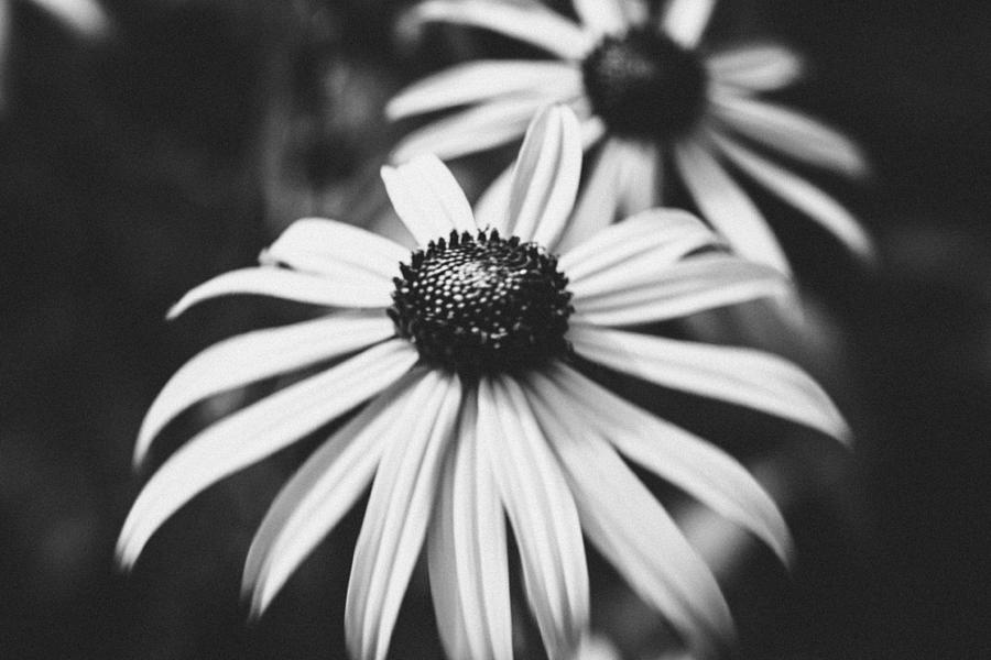 Daisy Photograph - Daisy In The Dark by Kimberly Ayars