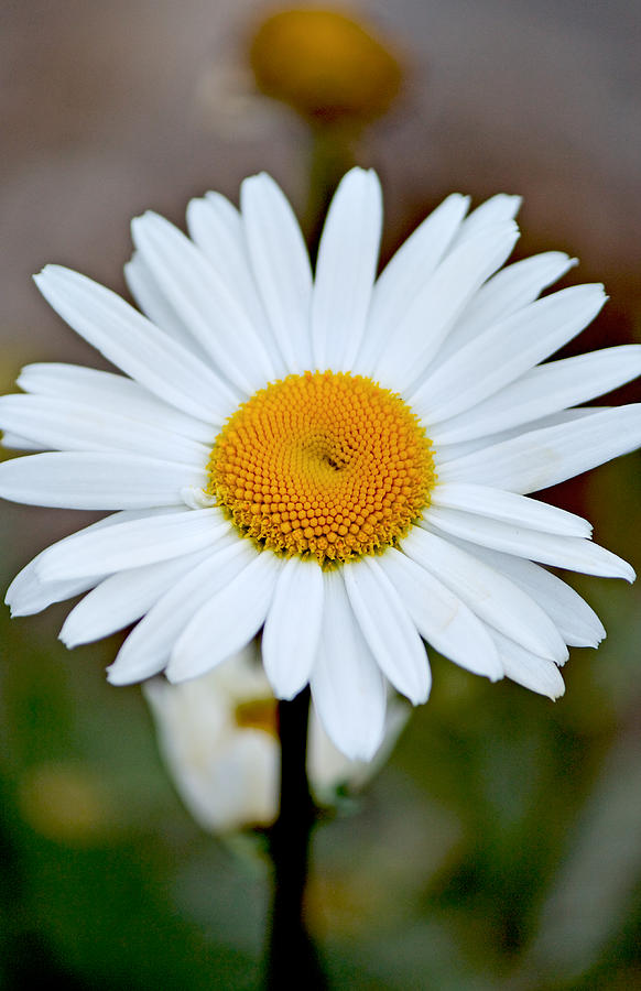 Background Photograph - Daisy In The Morning by Andrew Chianese