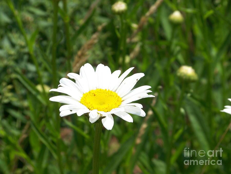 Daisy Photograph - Daisy Mae by Kevin Croitz