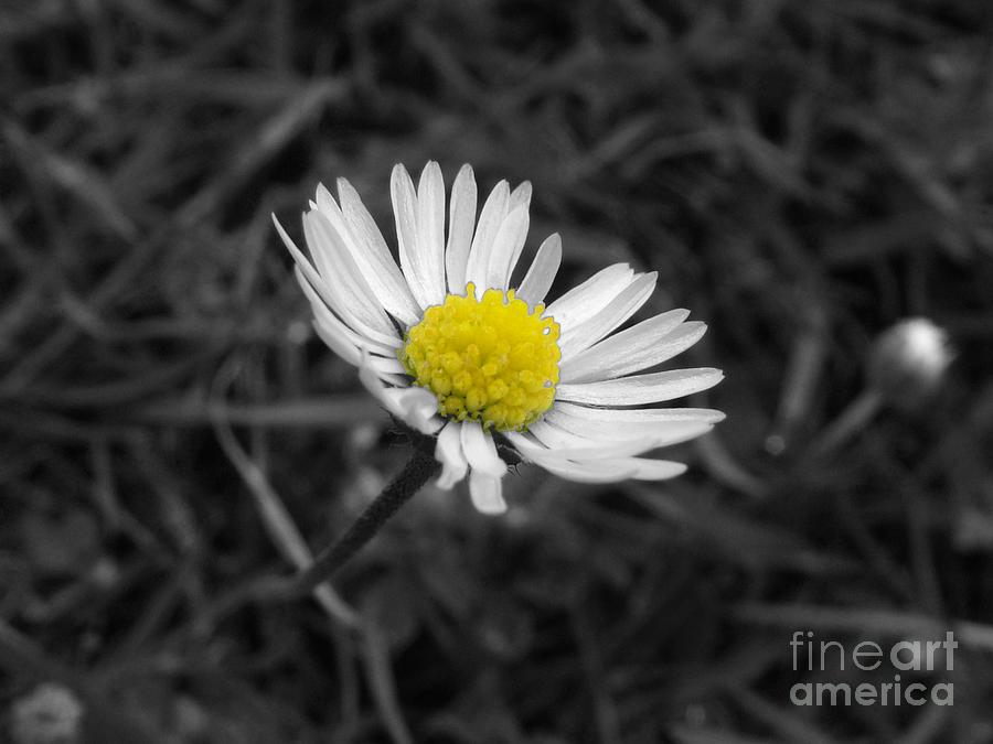 Daisy Photograph - Daisy by Mark Bowden