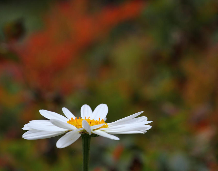 Daisy Photograph - Daisy by Old Pueblo Photography