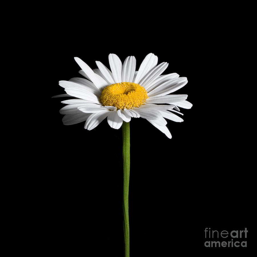 Daisy on Black by Cindy Singleton