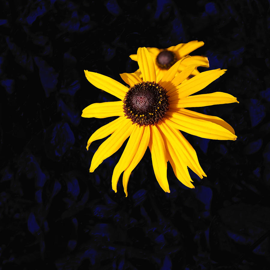 Daisy Digital Art - Daisy On Dark Blue by Kathleen Illes