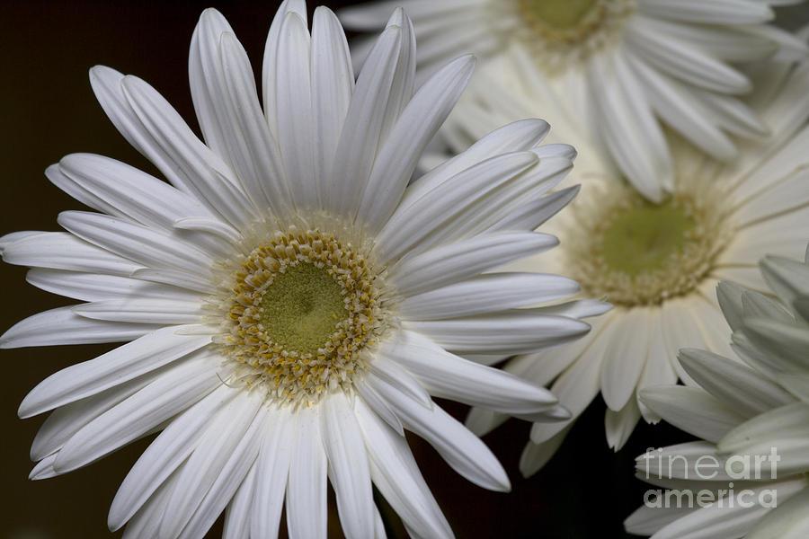 Daisy Photo by Meg Rousher