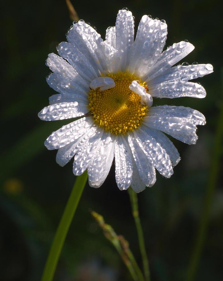 Daisy Photograph - Daisy by Scott Gould