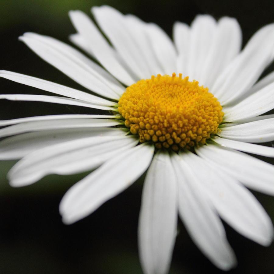 Daisy Photograph - Daisy by Theresa Selley