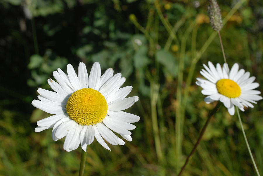 Daisy Twins by Jan Piet