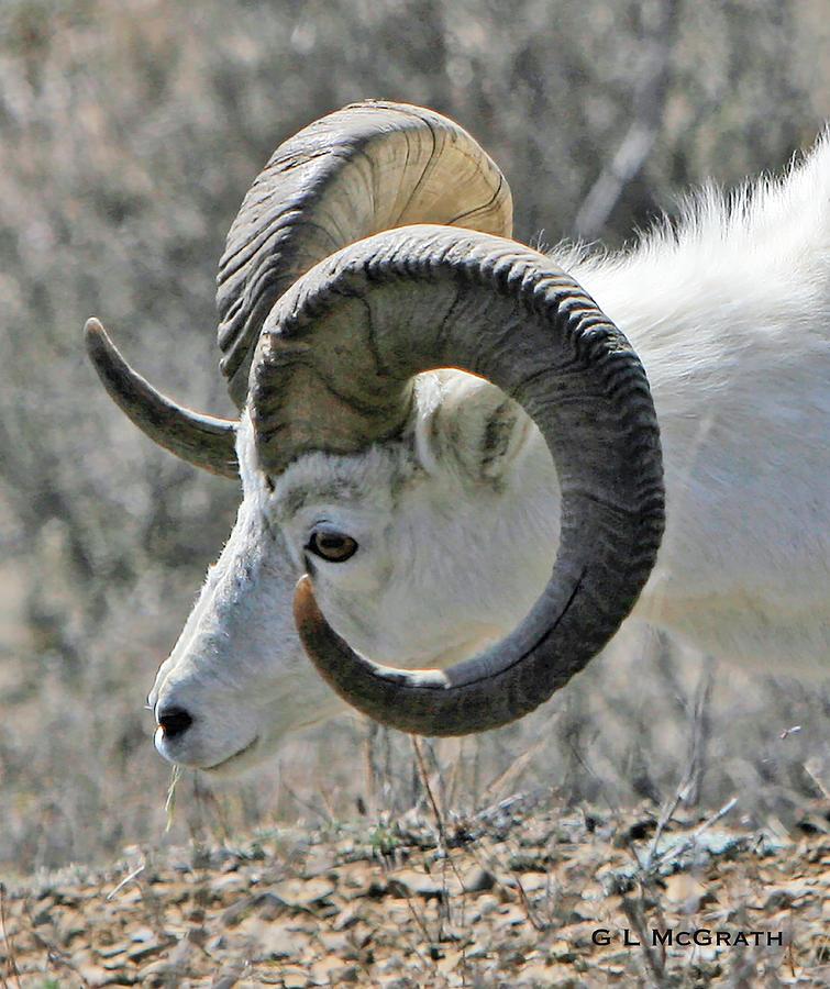 Dall Sheep Photograph - Dall Sheep by G L McGrath