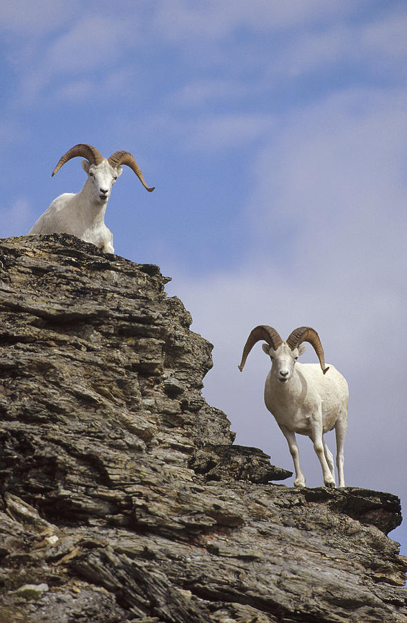 Dalls Sheep On Rock Outcrop North Photograph by Michael Quinton