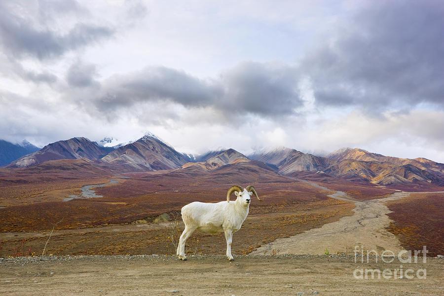 Dalls Sheep Ram Denali National Park Photograph by Yva Momatiuk John Eastcott