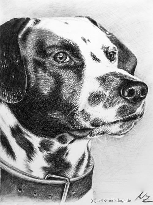 Dog Drawing - Dalmatian Portrait by Nicole Zeug