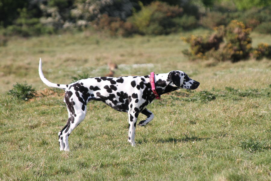 Dalmation Pretending To Be A Pointer Photograph by Gordon Auld