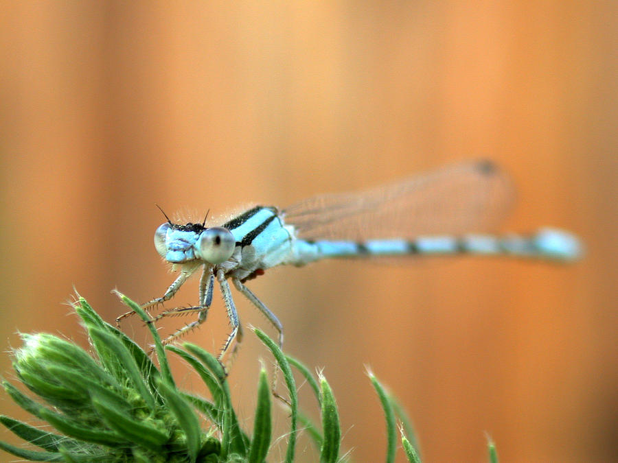Damselfly Photograph by Shane Bechler