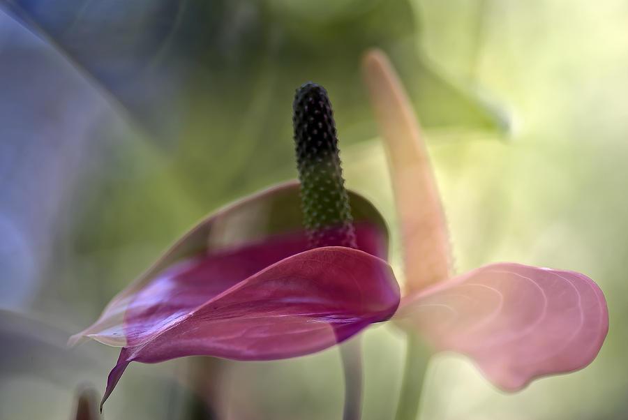 Flower Art Print Photograph - Dance by Eiwy Ahlund