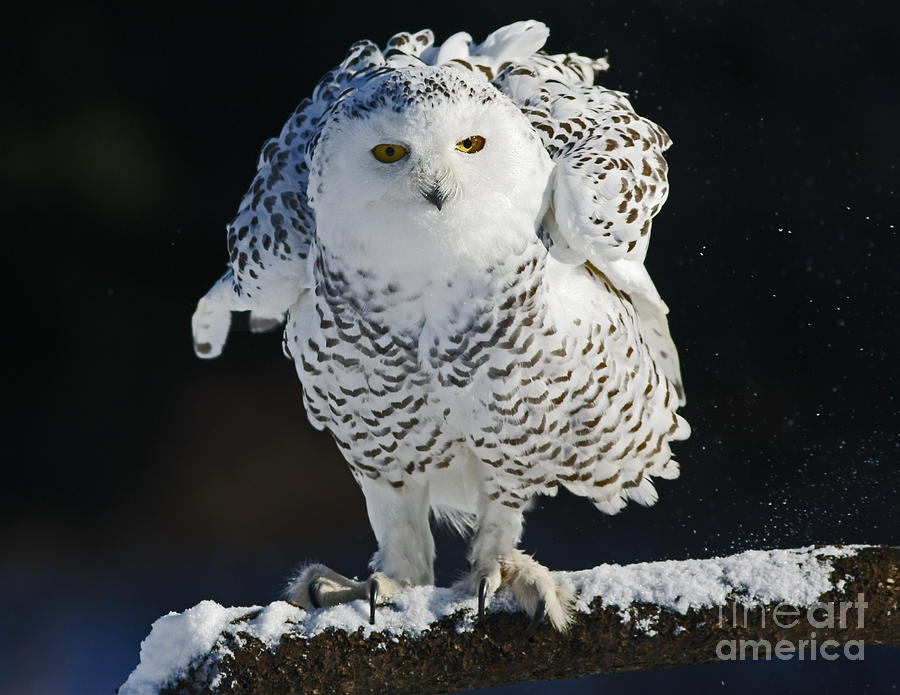 Snowy Photograph - Dance Of Glory - Snowy Owl by Inspired Nature Photography Fine Art Photography