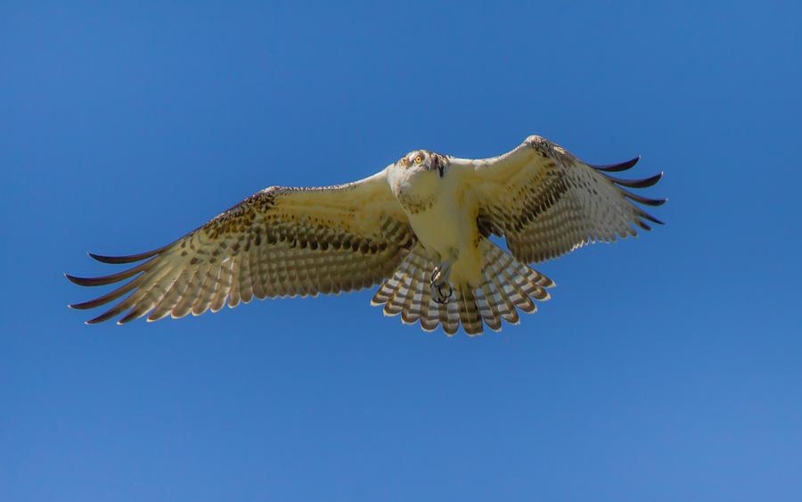 Osprey Photograph - Dance Of Osprey by Laura Bentley