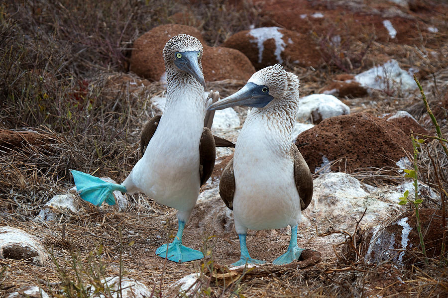 Galapagos Islands Photograph - Dance With Me by David Beebe