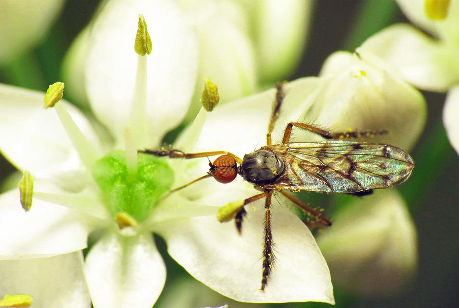 Insect Photograph - Dancefly On Onion Flower by Walter Klockers