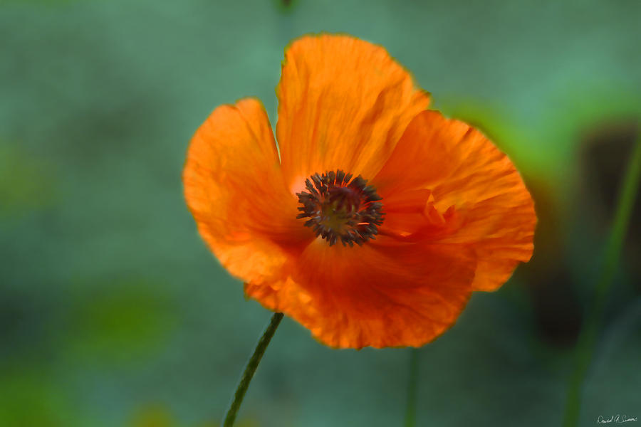 Red Poppy Photograph - Dancing Alone by David Simons