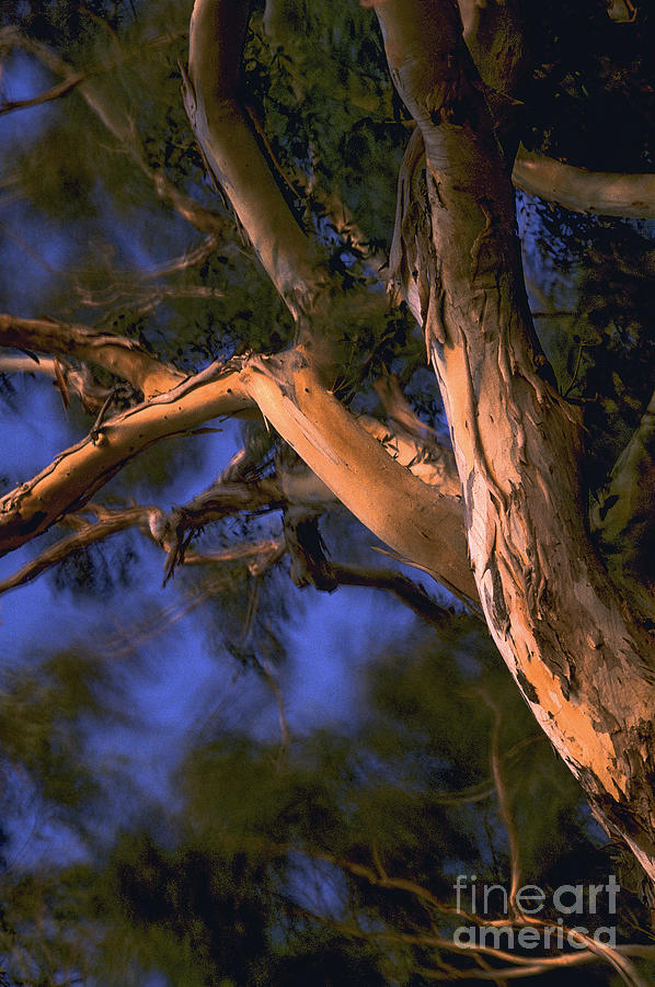Tree Photograph - Dancing At Sunset by Cheryl Wood